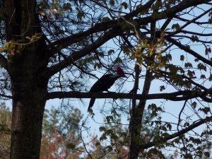 Pilated Woodpecker Spring 2014