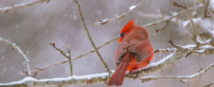 cropped-male-cardinal2.jpg